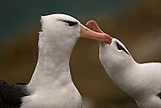 Courting black browed albatross couple close-up of bonding dance.