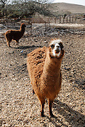 Alpaca (Vicugna pacos), Alpaca farm, Mizpe Ramon, Negev, Israel.|.The Alpaca Farm, Mizpe Ramon, Negev, Israel.