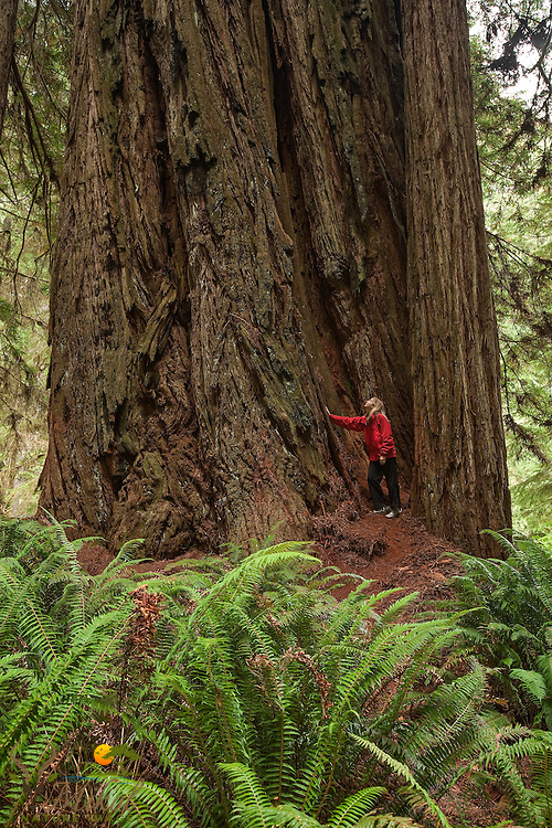 Hiker shows scale of old-growth redwood tree