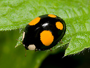 Close-up of a harlequin ladybird spectabilis form (Harmonia axyridis) walking over a leaf in a Norfolk wood in summer