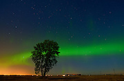 Northern lights or aurora borealis and cottonwood tree on prairie<br /> Dugald<br /> Manitoba<br /> Canada