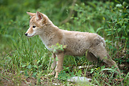Coyote puppy stretches, [captive, controlled conditions](Stock agencies have a stolen copy of this image for sale with my name and copyright stripped off. Please buy from me, the photographer, owner and copyright holder.) © David A. Ponton