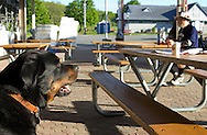 Augusta, New Jersey - A dog looks on as a runner in the 72-hour event breaks for breakfast during the 3 Days at the Fair races at Sussex County Fairgrounds on May 11, 2012.