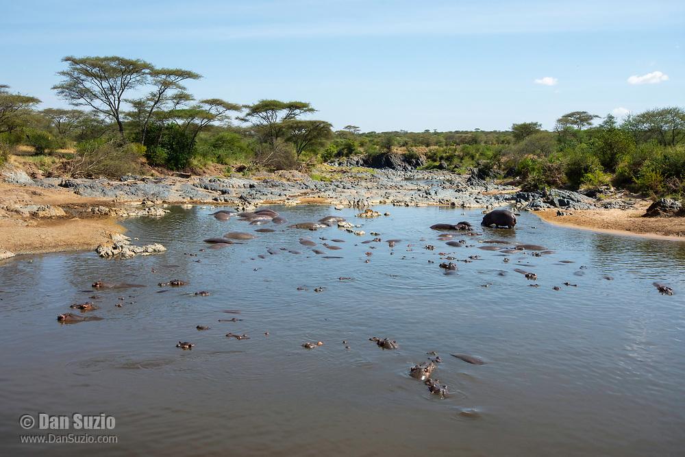 Hippopotamuses, Hippopotamus amphibius, in a pond in Serengeti National Park, Tanzania