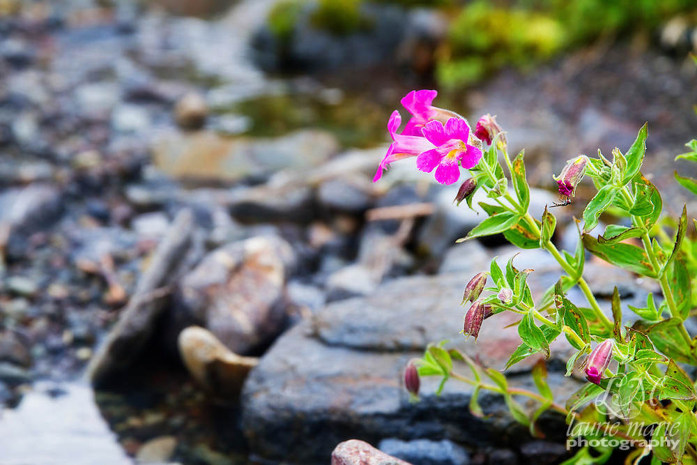 Lewis Monkeyflower or Pink Monkeyflower