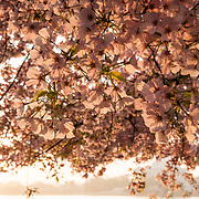 Pink cherry blossom flowers in the early morning sun. The Yoshino Cherry Blossom trees lining the Tidal Basin in Washington DC bloom each early spring. Some of the original trees from the original planting 100 years ago (in 2012) are still alive and flowering. Because of heatwave conditions extending across much of the North American continent and an unusually warm winter in the Washington DC region, the 2012 peak bloom came earlier than usual.