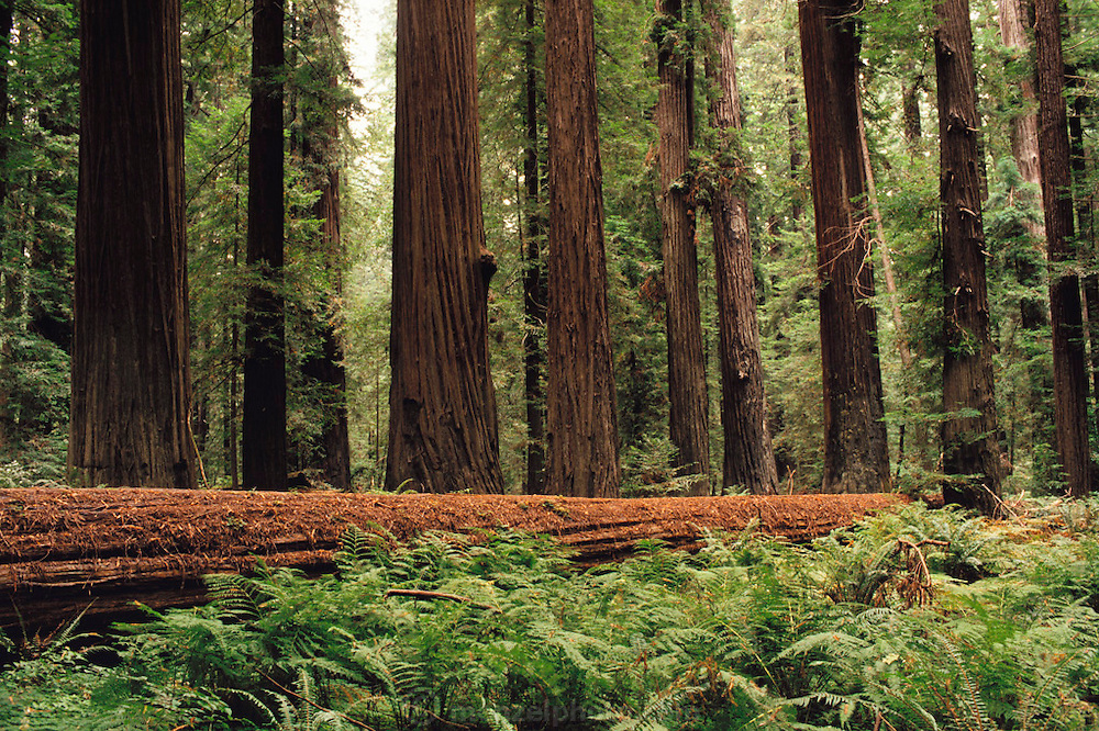A stand of redwood trees. Avenue of the Giants, California, USA.