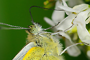 Green-veined White Butterfly (Pieris napi) close-up, feeding on mustard, showing extended proboscis, Oxfordshire, UK.