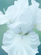 Iris 'Battlestar Atlantis' - tall bearded iris