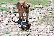 Africa, Tanzania, Ngorongoro Ngorongoro Conservation Area (NCA) Lioness and the remains of a carcass