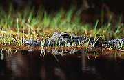 """An alligator lurks in the grass and dark waters of the Okefenokee Swamp in southern Georgia.<br /> The Okefenokee Swamp is a shallow, 438,000-acre, peat-filled wetland straddling the Georgia–Florida border in the United States. A majority of the swamp is protected by the Okefenokee National Wildlife Refuge and the Okefenokee Wilderness. The Okefenokee Swamp is considered to be one of the Seven Natural Wonders of Georgia. The Okefenokee is the largest """"blackwater"""" swamp in North America. Although folklore and many references state that the word, okefenokee, is a Native American word, meaning,""""land of trembling earth,"""" it is actually the anglicization of the Itsate Creek Indian words, oka fenoke, which mean """"water- shaking."""" The swamp was designated a National Natural Landmark in 1974."""