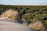 Sand Dunes encroaching on Pine Trees (Pinus sp.) & Marram Grass (Ammophila arenaria)<br /> These are mobile sand dunes within the National Park. Initially formed on the beach the southwesterly winds pile up small mounds of sand around an obstacle or plant which as it accumulates becomes unstable and is progressively blown inland forming larger and larger dunes<br /> Doñana National & Natural Park. Huelva Province, Andalusia. SPAIN<br /> 1969 - Set up as a National Park<br /> 1981 - Biosphere Reserve<br /> 1982 - Wetland of International Importance, Ramsar<br /> 1985 - Special Protection Area for Birds<br /> 1994 - World Heritage Site, UNESCO.<br /> The marshlands in particular are a very important area for the migration, breeding and wintering of European and African birds. It is also an area of old cultures, traditions and human uses - most of which are still in existance.<br /> <br /> Mission: Iberian Lynx, May 2009<br /> © Pete Oxford / Wild Wonders of Europe<br /> Zaldumbide #506 y Toledo<br /> La Floresta, Quito. ECUADOR<br /> South America<br /> Tel: 593-2-2226958<br /> e-mail: pete@peteoxford.com<br /> www.peteoxford.com
