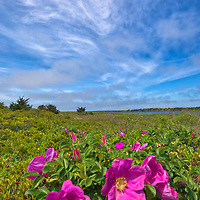 Cape Cod photography of wild roses. This beautiful Massachusetts flower and landscape phootgrapjhy image was composed and taken at the Mashpee National Wildlife Refuge located on Cape Cod.<br />