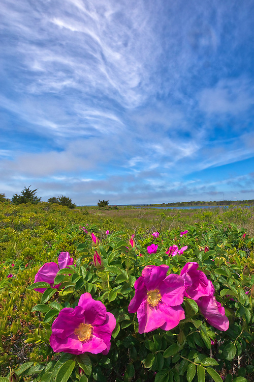Cape Cod photography of wild roses. This beautiful Massachusetts flower and landscape phootgrapjhy image was composed and taken at the Mashpee National Wildlife Refuge located on Cape Cod.<br /> <br /> This picturesque Cape Cod landscape photography image is available as museum quality photography prints, canvas prints, acrylic prints, wood prints or metal prints. Fine art prints may be framed and matted to the individual liking and interior design decorating needs:<br /> <br /> https://juergen-roth.pixels.com/featured/cape-cod-wild-roses-at-the-mashpee-national-wildlife-refuge-juergen-roth.html<br /> <br /> Good light and happy photo making!<br /> <br /> My best,<br /> <br /> Juergen<br /> Photo Prints: http://www.rothgalleries.com<br /> Photo Blog: http://whereintheworldisjuergen.blogspot.com<br /> Instagram: https://www.instagram.com/rothgalleries<br /> Twitter: https://twitter.com/naturefineart<br /> Facebook: https://www.facebook.com/naturefineart