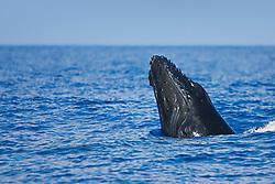 Humpback Whale calf, spyhopping, Megaptera novaeangliae, Hawaii, Pacific Ocean