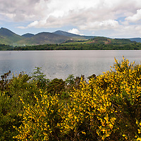 Beautiful lake District landscape in the Uk. The yellow flowers on the foreground and the green hills of the background creates a beautiful frame for the tranquil waters of the lake.