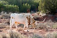 Longhorn, cattle, grazing, Quanah, Texas
