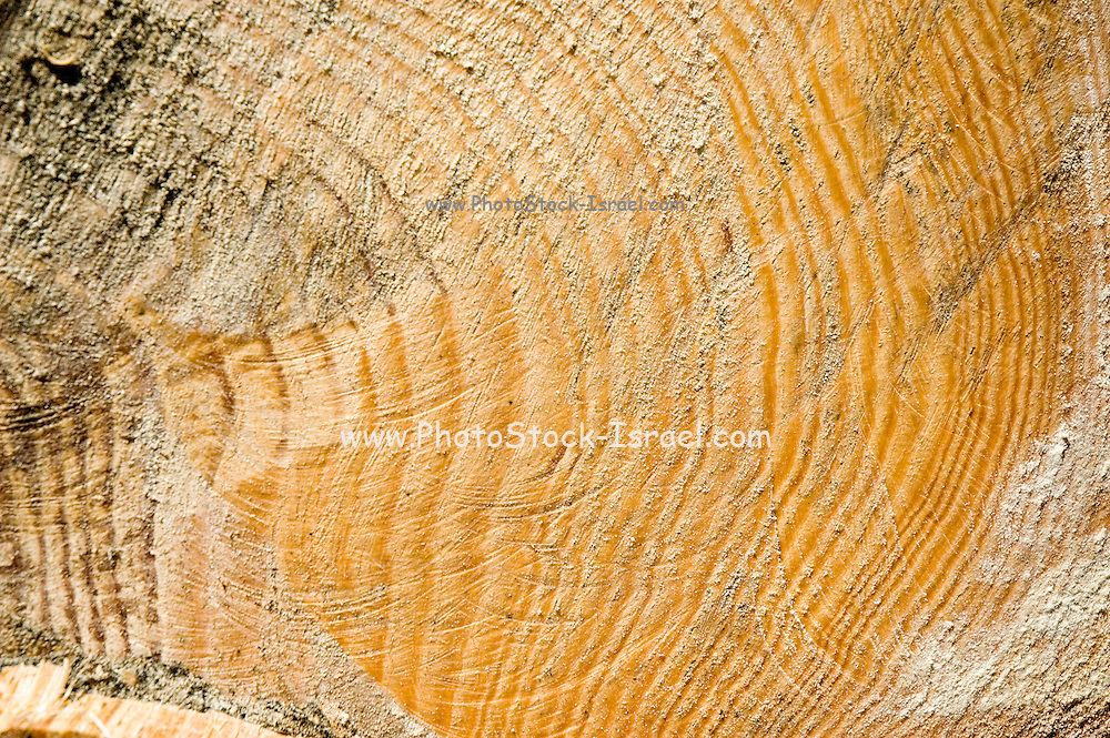 Israel, Carmel Forest, Foresters working in a natural forest, cutting down trees to thin out the forest close up of the rings of a fallen tree trunk