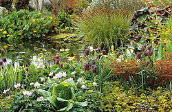 Spring planting round the upper pond. Fritillaria meleagris, Anemone nemorosa, Carex elata 'Aurea' and Caltha palustris.