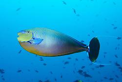Naso vlamingii, Masken Nasendoktorfisch, Bignose or scriblle unicornfish,  Malediven, Indischer Ozean, Ari Atoll, Hafsha Thila, Maldives, Indian Ocean