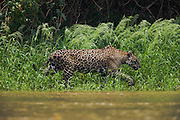 A male jaguar (Panthera onca) walks along a river bank to find a suitable place to mate, Pantanal, Brasil,South America