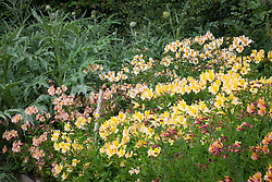 The alstroemeria bed. Left to right: Cynara scolymus (Globe artichokes), Alstroemeria 'Elvira', 'Apollo', 'Friendship' and 'Charm'