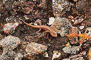 Newt walking on moorland near some pools on the lower reaches of Glen Strathfarrar. Thought to be a palmate newt.