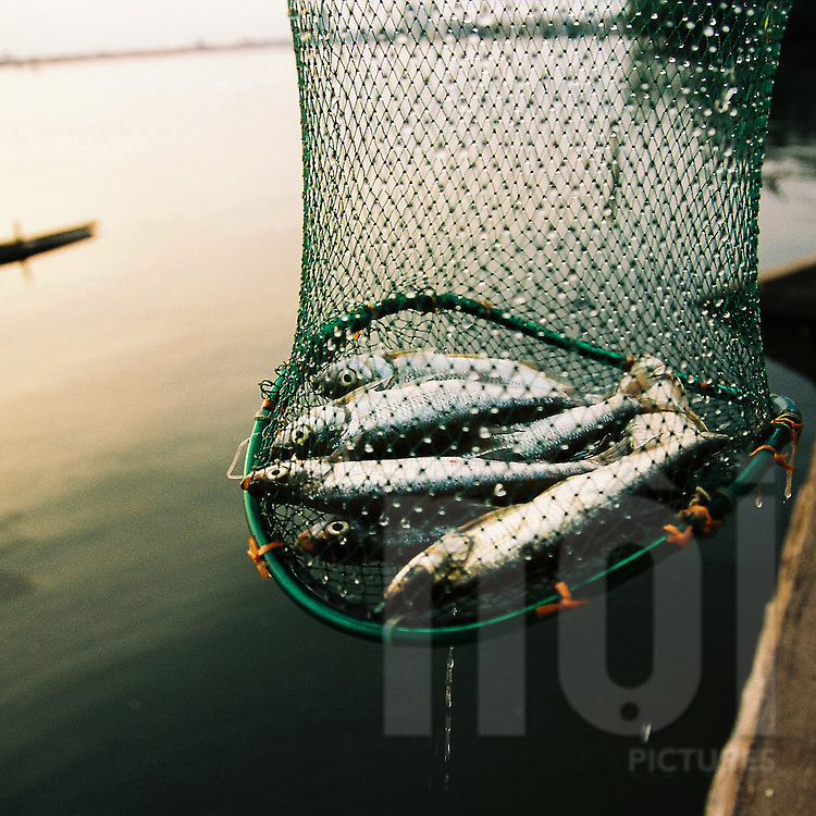 Fish after being caught on Tay Ho known as west lake. Hanoi.