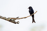 Fork-tailed drongo (Dicrurus adsimilis) from Kruger NP, South Africa.