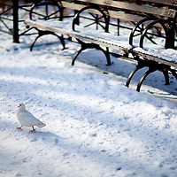 A white pigeon walks down a snow covered walkway and park bench at Union Square Park New York City