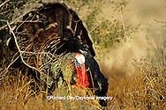 """00845-05008 """"Rio Grande"""" Wild Turkey (Meleagris gallopavo) male/gobbler strutting,  Starr Co.  TX"""