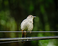 Gray Catbird.  Image taken with a Fuji X-T3 camera and 200 mm f/2 telephoto lens + 1.4x Teleconverter