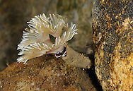 Bispira volutacornis