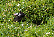 Puffin in flight, Skellig Michael, County Kerry, Ireland