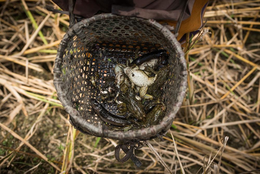 Frogs for food<br /> Apatani Tribe<br /> Ziro Valley, Lower Subansiri District, Arunachal Pradesh<br /> North East India