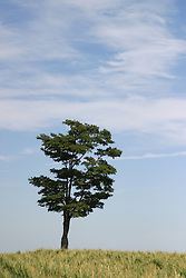 A tree stands alone on the prairie against a blue sky