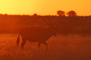 Gemsbok (Oryx gazella), Deception Valley, Central Kalahari Game Reserve, Botswana.