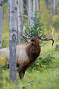 Bull elk bugling in aspen grove during the autumn rut