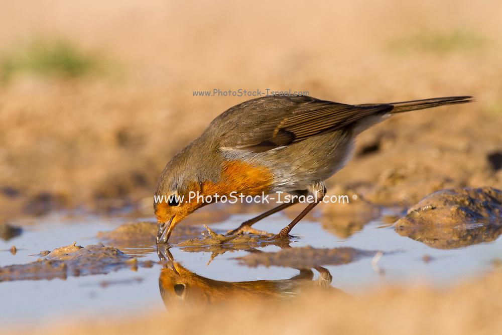 European Robin (Erithacus rubecula) near water, negev desert, israel. Photographed in January
