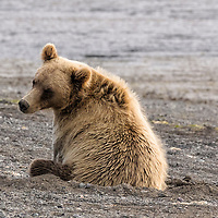Alaska coastal brown bear, Lake Clark National Park, Alaska