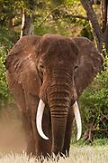 Portrait of an African elephant, Loxodonta africana, looking at the camera, Tsavo, Kenya.