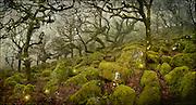 Magical lights in Wistman's Wood, Dartmoor