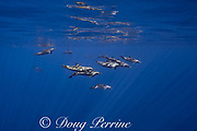 pantropical spotted dolphins, Stenella attenuata, in open ocean, South Kona, Hawaii ( the Big Island ), United States ( Central Pacific Ocean )