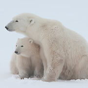 Polar bear (Ursus maritimus) mother with cubs. Churchill, Manitoba, Canada