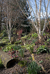Betula utilis var. jacquemontii  - silver birch -  underplanted with hellebores and narcissi in the dell bed at John Massey's garden in spring