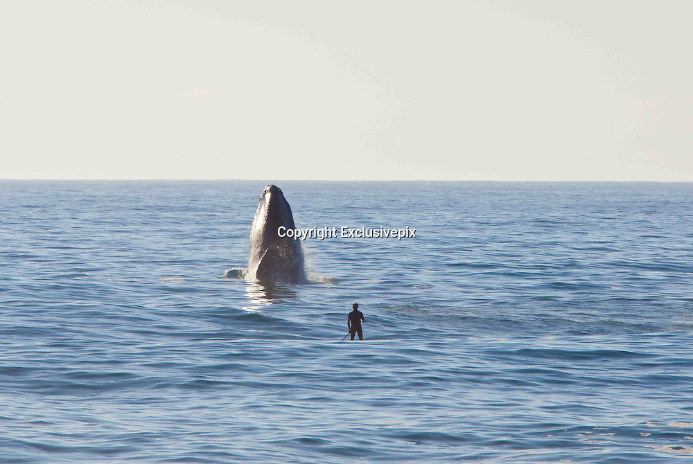Cape Town - South Africa - EXCLUSIVE - <br /> Stunning pictures showing a Paddlesurfer's close encounter with a Whale<br /> <br /> this picture taken by  Photographer Michael Poliza from Germany shows Axel Ohm, a stand-up paddlesurfer, enjoys unsurpassed views of a breaching Souther Right Whale in Walker Bay near Grootbos Nature Reserve, Western Cape.<br /> (©Michael Poliza/Exclusivepix)