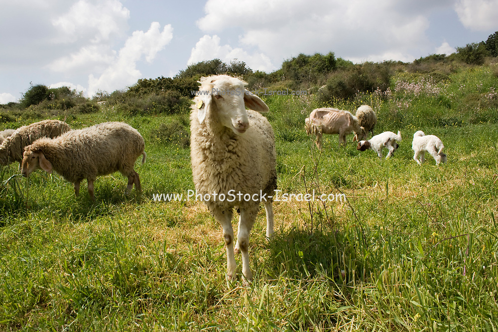 A large flock of sheep free grazing in a green meadow. Photographed on Mount Carmel, Israel