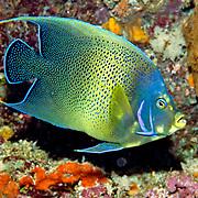 Semicircle Angelfish inhabit reefs. Picture taken North of Alor, Indonesia.