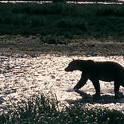 Alaskan Brown Bear, (Ursus middendorffi) Adult walking through water backlit. Alaskan Peninsula.
