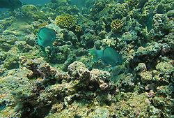Parrot fish feeding on corals on Mermaid Reef at the Rowley Shoals.